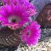 Cactus Flowers (0808)