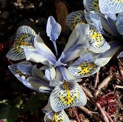 Iris x histrioïdes 'Katharine Hodgkin'
