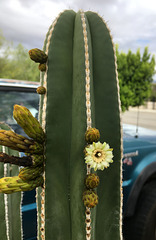 Mexican Fencepost Cactus Flower (0784)