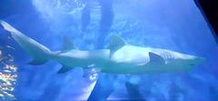 Requin : sea-aquarium du Grau du Roi