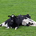 20140907 4780VRAw [NL] Kühe, Terschelling