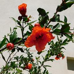 Grenadier-fleurs*************