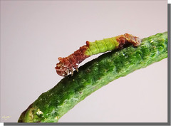 Geometra papilionaria- chenille