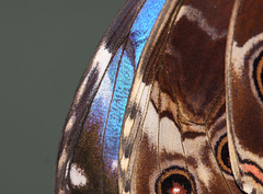The Blue Morpho butterfly (Morpho peleides)