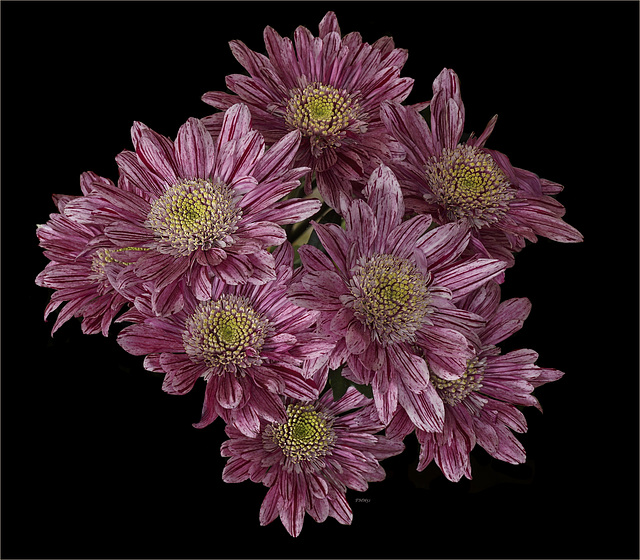 Cluster of eight rusty chrysanthemums