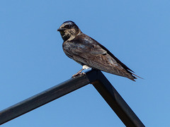 Purple Martin, Ellis Bird Farm, Alberta