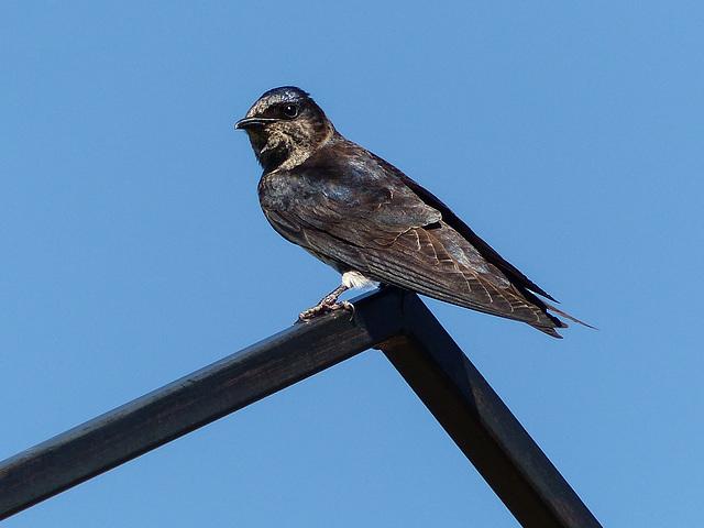 Purple Martin, Ellis Bird Farm, Alberta