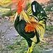 **Secret Garden Rooster final