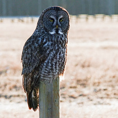 Great Gray Owl from 2013