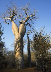 Le Baobab de madagascar     (2010)