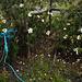 Penedos, Cistus ladanifer and blue rope, HFF