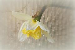 Zoom sur le Narcisse