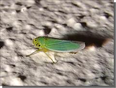 Cicadella viridis femelle.