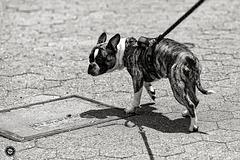 Dog in Manhattan