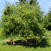 Hafflinger unterm Apfelbaum