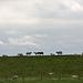 20140907 4774VRAw [NL] Schafe, Deich, Terschelling