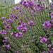 20190614 5309CPw [R~GB] Nachtviole (Hesperis matronalis), Waldwanderung, Wales