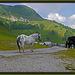 Noriker Pferde auf der Poludninger Alm