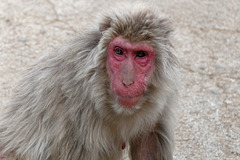 Iwatayama, la montagne aux singes (6)
