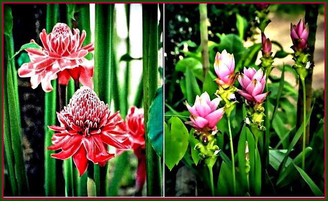 Flowering ginger plants. ©UdoSm
