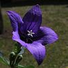 Platycodon à grandes fleurs- Platycodon grandiflorus