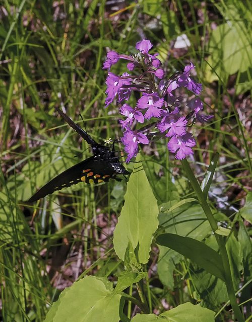 Platanthera psycodes (Small Purple Fringed orchid) and Pipevine Swallowtail Butterfly with pollinia - image by Walter Ezell