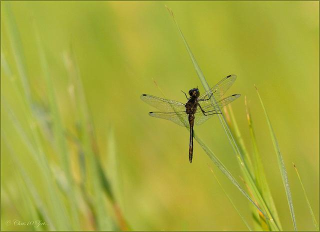 Black darter ~ Zwarte heidelibel (Sympetrum danae)... ♂