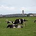 20140907 4773VRAw [NL] Kühe, Terschelling