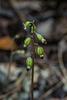 Corallorhiza odontorhiza (Autumn Coral Root orchid)