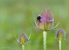 Bumble bee in Purple...