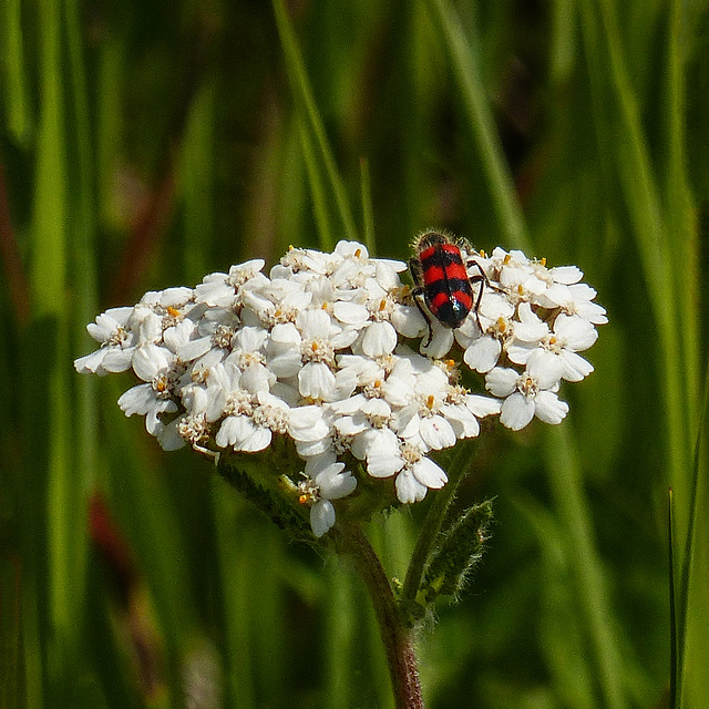 Red-blue Checkered Beetle on Yarrow