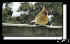 Mrs Cardinal on fence