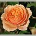 L'important c'est la Rose ........bonne journée