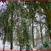 ilex snow