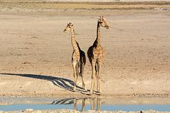 Namibia, A Couple of Giraffes in Etosha National Park