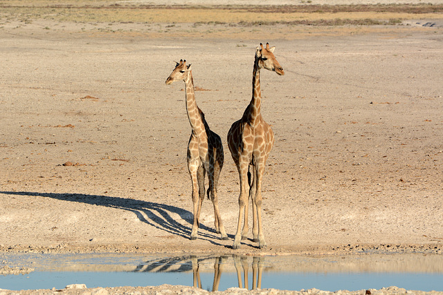 Namibia, A Couple of Giraffes in Etosha National Park