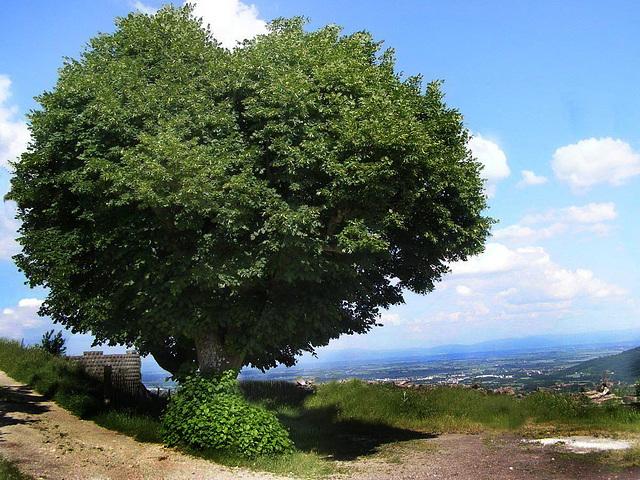 L'arbre en coeur