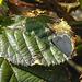 20170409 0399CPw [D~PB] Faulbaumbläuling (Celastrina argiolus), Steinhorster Becken, Delbrück