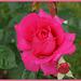 Rose de mon jardin,Rose of my garden
