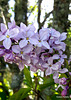 Lilac On Our Tree.