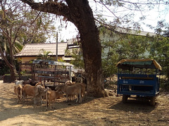 Vaches et taxis / Cows and taxis