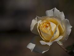 Harry & David Garden: Glowing Golden Rose