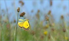 Clouded Yellow ~ Oranje luzernevlinder (Colias croceus)...