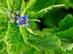 Early Borage Flower