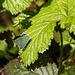 20170409 0401CPw [D~PB] Faulbaumbläuling (Celastrina argiolus), Insekt, Steinhorster Becken, Delbrück