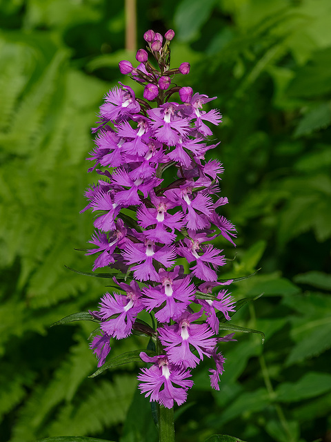 Platanthera grandiflora (Large Purple Fringed orchid)