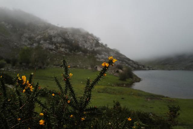 Ulex europaeus, Picos de Europa, Lago Enol