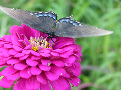 Schmetterling -3
