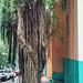 banyan& tourist