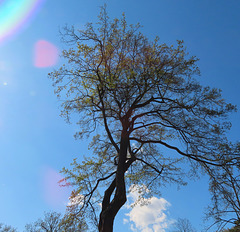 1 (39)...austria tree baum with sun reflaction
